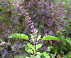 How can Tulsi offer so many health benefits?